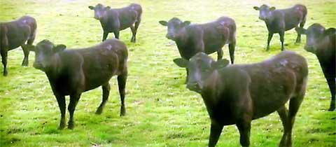Coaw_cows