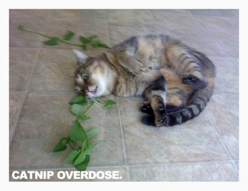 CatnipOverdose